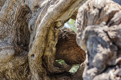 Twisted tree trunk Royalty Free Stock Photo