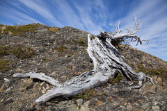 Twisted tree trunk at Torres del Paine Stock Photo