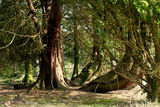 Twisted trees in the countryside. Several twisted trees in the Scottish countryside Stock Photography