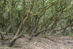 Twisted trees Royalty Free Stock Image