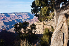 Twisted Trees of the Grand Canyon Stock Photo