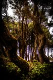 Twisted Trees in Newport Oregon at the Beach royalty free stock image
