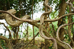 Twisted tropical tree roots Stock Photo