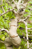 Twisted trunk bark Royalty Free Stock Photography