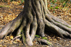 Twisted trunk of tree. Details of gnarled and twisted trunk of old yew tree Stock Images