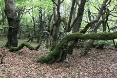 Twisted trunks of beech trees - old beech forest Stock Photos