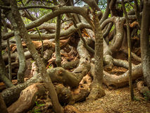 Twisted trunks and branches of a very old tree Stock Images