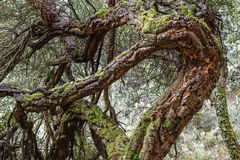 Twisted trunks of Cork oak. Quercus suber. Path of the stonecutters, The Bierzo. Stock Image