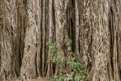 Twisted Vine in Jungle. Mata Palo growing around trees in jungle in Costa Rica stock photography