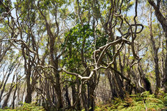 Twisted Vine. Large twisted vines join together in the thick forest Stock Images