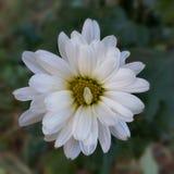 Twisted white petal Stock Photo