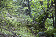Twisted Woods. The trees with a twisted trunks in Carpathian forest Royalty Free Stock Photo