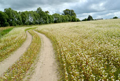 The twisting field road in the blossoming buckwheat field. Summe Stock Photography
