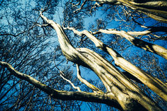 Twisting Tree Barks. Reaching towards the sky Royalty Free Stock Image