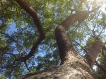 Twisting Tree Branches Reaching Up to Sky Stock Photo