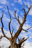 Twisting trees and blue sky Stock Image