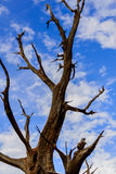 Twisting trees and blue sky Stock Photography