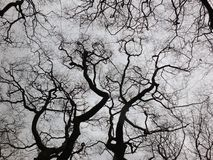Twisting winter trees in forest canopy with bare branches Royalty Free Stock Photo