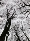 Twisting winter trees in forest canopy with bare branches Royalty Free Stock Images