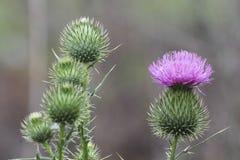 Twistle στον κήπο Στοκ φωτογραφίες με δικαίωμα ελεύθερης χρήσης