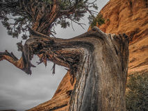 Twists in a Tree. Hiking to Corona Arch there is a tree of particular shape Royalty Free Stock Image