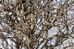 Twisty branches of a tree after pruning Royalty Free Stock Images