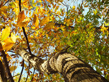 Twisty Tree with Autumn Leaves Stock Images