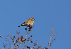 Twite bird. Side view of Twite bird perched on tree branch with blue sky background Royalty Free Stock Photos