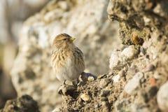 Twite Carduelis flavirostris bird closeup Stock Images
