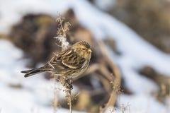 Twite Carduelis flavirostris bird closeup Royalty Free Stock Photos