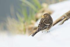 Twite Carduelis flavirostris bird closeup Royalty Free Stock Image