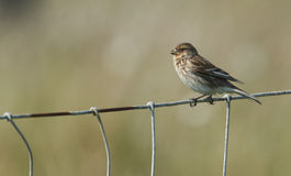 A Twite, Carduelis flavirostris, perched on a wiire fence. Royalty Free Stock Photos