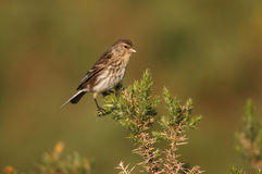 Twite, Carduelis flavirostris Royalty Free Stock Images