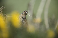 Twite, Carduelis flavirostris Royalty Free Stock Photography