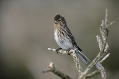 Twite, Carduelis flavirostris Stock Photography