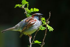 Twittering sparrow. Male sparrow bird twittering on a branch in the sun Stock Photography