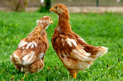 Two. Chicken Royalty Free Stock Photos
