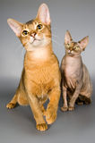 Two. Cat of Abyssinian breed and cat of breed the Canadian sphynx Royalty Free Stock Images