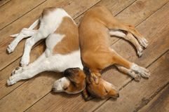 Two. Sleeping puppies on the floor royalty free stock photography