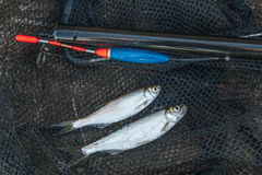 Two ablet fish on fishing net. Fishing rod with float and fishin Stock Photo