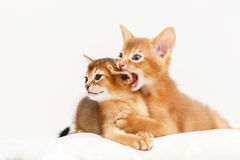 Two abyssinian kittens playing together. Royalty Free Stock Image