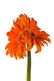 Two accrete flowers, gerbera Royalty Free Stock Image