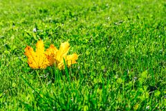 Two acer platanoides Norway maple leafs with yellow autmn color on a green meadow stock image