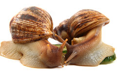 Two achatina snails royalty free stock photos