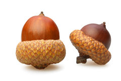 The two acorn brown closeup Stock Images
