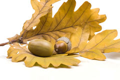 Two acorn lying on the fallen oak leaves Stock Image