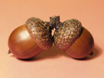 Two acorns. Acorns on brown background Stock Images