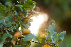 Two Acorns Hanging infront of a Sunburst Royalty Free Stock Images