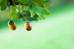 Two Acorns Hanging on a Tree Royalty Free Stock Photo