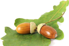 Two acorns on the leaf. Two ripe brown acorns on green oak-leaf Royalty Free Stock Image